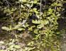 Саженцы граба,  клена,  липы,  черёмухи,  рябины,  барбариса,  боярышника,  тёрна,  ели,  сосны,  берёзы,  дуба