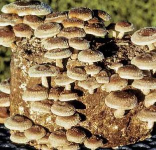 Мицелий грибов шиитаке,  мейтаке,  рейши,  муэра,  энокитаке,  опенка,  чаги и др дереворазрушающих грибов
