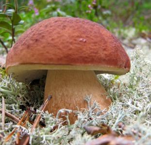Грибница белых грибов - лучший живой и сухой мицелий превосходной всхожести с гарантией!