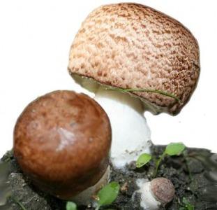 Мицелий агарика бразильского - высылаю семена бразильских шампиньонов