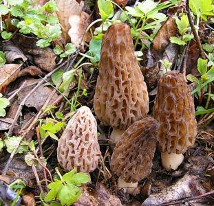 Рассада (мицелий грибов) Сморчок высокий для выращивания грибов в огороде, саду, помещениях высылаю
