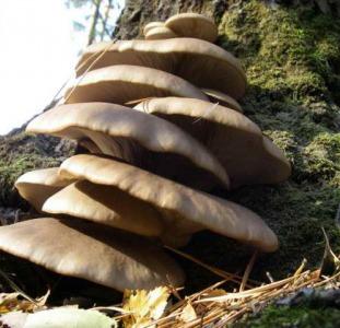 Мицелий вешенки живой свежий и биологически высушенный - семена грибов почтой недорого качественно!