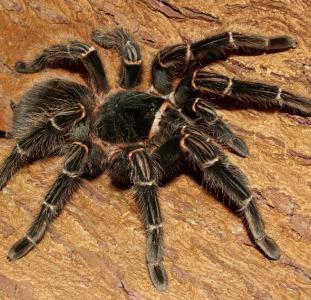Гигантский паук птицеед,  тарантул Ласидора Парахибана Лошадиный паук