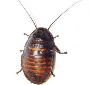 Продаются мадагаскарские (малагасийские) шипящие тараканы,  или Gromphadorrhina portentosa.