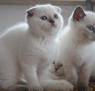 Шотландские котята редкого окраса