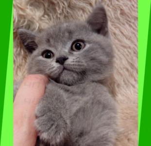 Котята британские. Любовь с одного касания.