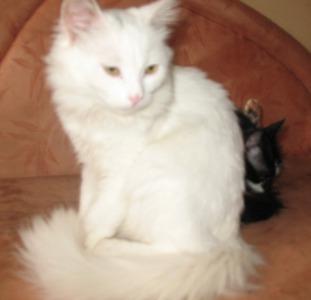 Шикарная воспитанная пушистенькая блондинка с беличьим хвостом (4.5 мес.)
