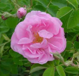 Розовая душистая вода 100 мл