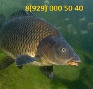 Живая рыба. Живая рыба в наличии. Свежая рыба.