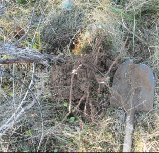 Кора можжевельника, Juniperus communis, эко натур.