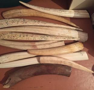 Купим бивни мамонта, клыки моржа, зубы кашалота