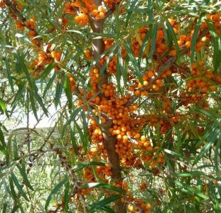 Садовые растения Саженцы самоплодной облепихи