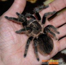 Императорский скорпион, Паук птицеед, кормовые насекомые