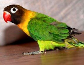 Корелла, волнистый попугай, Чехи, неразлучники, ожереловый попугай и др.-ручные