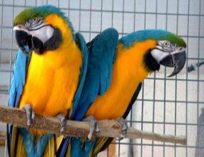 Ара сине-желтый и Ара зеленокрылый – ручные птенцы