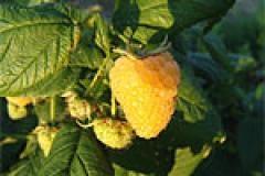 Как украсить торт ягодами: красивая карвинг тыквы фото, фото плодов малины.