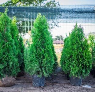 Туя Изумрудная, самшит, декоративные травы из Польши от производителя