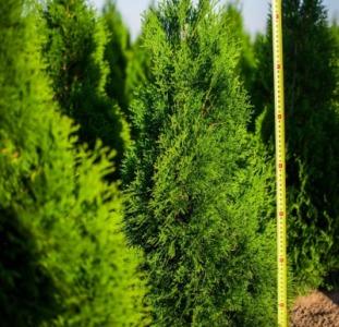 Розплідник з Польщі пропонує оптом декоративні рослини