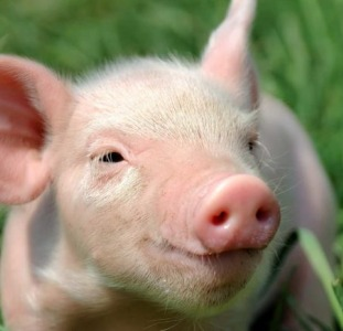 Продамживых свиней от производителя. Свиньи 10-130 кг от производителя