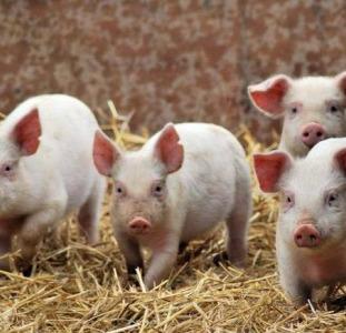 Реализуем живых свиней. Продажа свиней 10-130 кг от производителя