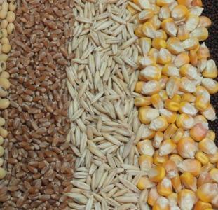 Семена Купить зерно и зерновые Украинского происхождения