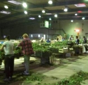 Вакансія: Сортування саджанців полуниці