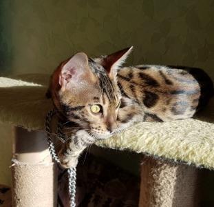 Купить бенгальского кота Харьков.