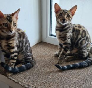 Красивые бенгальские чистопородные котята.