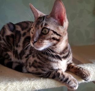 Бенгальский кот (Бенгал) купить Львов.