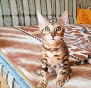 Бенгальская кошка купить. Бенгальские котята.