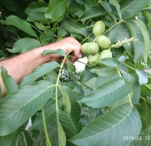 Саджанці грецького горіха гроздевого плодоношения
