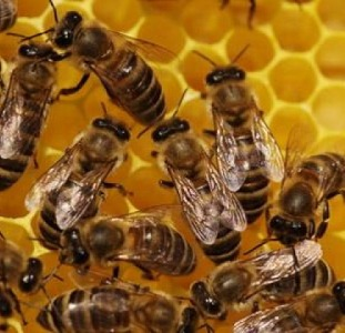 Продаються бджолосім'ї, рамки, суш