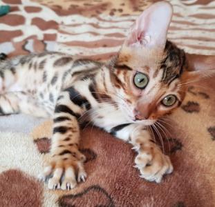 Купить бенгальского котенка с клубными документами.