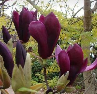 Магнолия Морозостойкая лилиецветная Нигра Nigra гибрид садовый