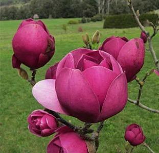 Magnolia Black Tulip, Магнолия Блэк Тюлип морозостойкая гибрид