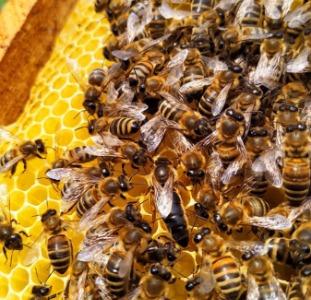 Пчелиные матки. Бджоломатки
