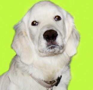 Кексик от Чемпиона, приучен к выгулу, дрессирован, щенки золотистого голден ретривера.